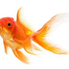 Goldfish Responsible for Fake News?